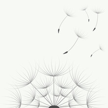Vector Illustration. Blooming Dandelion On A White Background.
