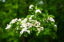Common Hawthorn Flowers On The Bush During Spring Season. Plant Of Crataegus Monogyna. Hawthorn Blossom. Flowering Thornapple. May-tree Blooming In The Forest. Fruit Flowers. Crataegus Monogyna