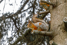 Outdoor Portrait Of Cute Curious Red Gray Squirrel Sitting On Tree Branch In Forest Background. Little Fluffy Wild Animal Fox Squirrel With Funny Face In Habitat Close Up. Urban Wildlife In Park.