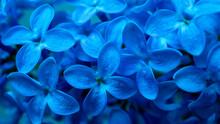 Blue Lilac Flowers Macro Photo