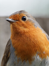 A Close Up Portrait Of A Robin (Erithacus Rubecula)  At Fairburn Ings, A RSPB Nature Reserve In Leeds, West Yorkshire