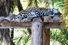 Jaguar Sleeping On The Wooden Platform In The Shade On Hot Summer Day