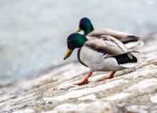 Walking Colourful Mallard Ducks Isolated On White Patterned Background