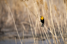 An Adult Male Yellow-headed Blackbird Perched On A Reed Of Grass