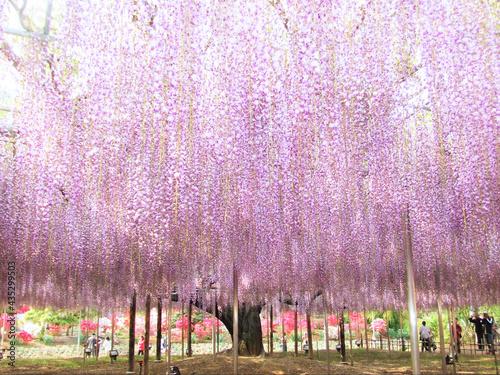 日本の足利フラワーパークの見事な藤と観光客 Fototapet