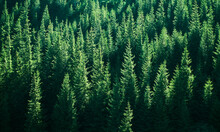 Mountains With Forests. Carpathian Mountains