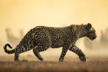 Beautiful Shot Of A Leopard Walking In A Safari In Botswana