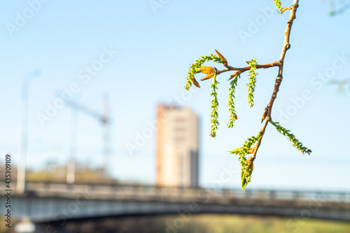 Fényképezés spring flowers on a branch of poplar