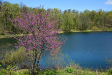 Flowering Eastern  Redbud  And Tranquil  Pond  In Springtime At The Lodges At Gettysburg In Gettysburg, Pennsylvania