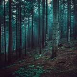 Fototapeta Na ścianę - Widok drzew w lesie - drzewa iglaste w porannym słońcu, las iglasty