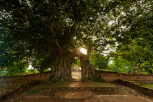Ayutthaya Historical Park, Natural, Light, Forest, Path, Tourist, Wat Phra Ngam, Restoration, Heritage, Ayutthaya, Thai, Ruins, Sun, Buddhist, Temple, Unseen, Leaf, Outdoor, Background, Green, Landsca
