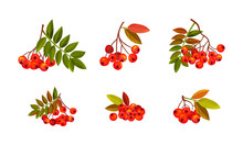 Rowan Branches With Berry Clusters And Pinnate Leaves Vector Set