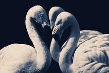 Closeup Of Three Flamingos Looking Like White Swans
