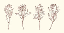 Set Of Hand Drawn Protea Flowers