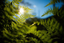 Dense Forest Undergrowth With Multiple Green Fern Leaves Illuminated By Sun. Green Plants Growing On A Remote Place. Concept Of Environment Conservation.