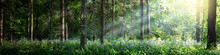 Beautiful Panorama Of The Forest With Bright Rays Of The Sun Through The Trees. Glade In The Evening Forest In The Rays Of The Setting Sun.