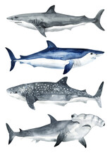 Set Of Cetaceans Painted In Watercolor. Sperm Whale, Beluga, Blue Whale, Killer Whale, Shark Whale