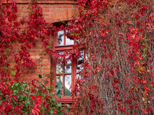 Autumn Window Framed By Red Leaves Of Wild Grapes.