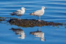 Two Juvenile European Herring Gulls (Larus Argentatus)  Standing On Seaweed In The Harbor Of  Vardö, Finnmark, Norway