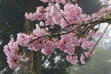 Cherry Blossoms In Full Bloom.Train, Cherry Blossom, Tree, Cloud. Various Views Of Alishan National Forest Recreation Area In Chiayi County, Taiwan. March 21, 2021.