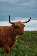 Close-up Of Head Of Red Haired Highland Cow Against Background Of Green Meadow And Blue Sky