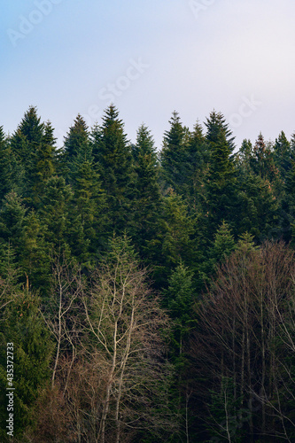 The majesty of the silent evergreen forest, spruce and pine forest during frost, a natural winter phenomenon Fototapeta