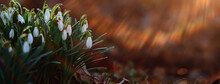 Spring Wildflowers Sun Rays Bokeh Snowdrops, Warm Golden Spring Background Sunrise In March