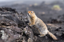 A Charming Ground Squirrel Looks Into The Camera, Leaning On A Hill. Gopher Among The Earthen Soil.