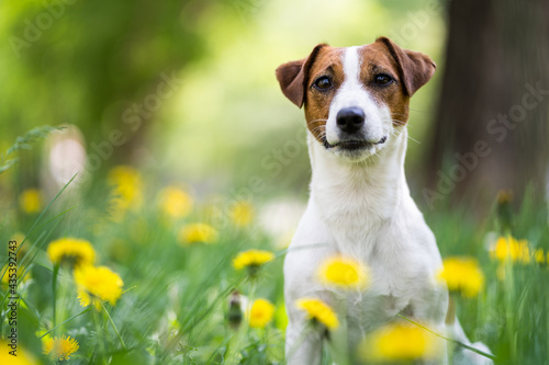 Fotografie, Obraz Portrait of a dog of breed Jack Russell Terrier among the green grass and yellow flowers