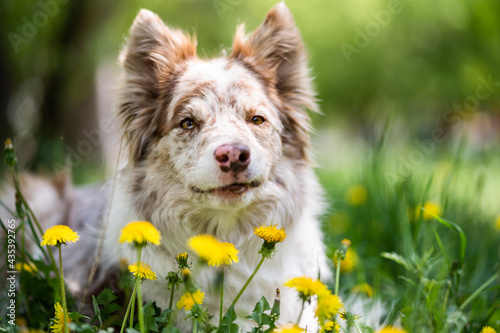 Foto Portrait of a brown and white border collie dog in green grass and yellow flowers
