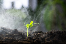 Close-up Of Irrigation Of A Small Green Sprout. A Lonely Sprout In Moist Soil. A Green Sprout Among Many Small Drops Of Water.