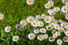 Leucanthemum Vulgare Oxeye Daisy Flowers In Bloom, Wild Meadow Marguerite Flowering Plants On Green Meadow