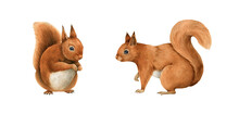 Two Red Squirrel Animals Set. Cute Funny Rodent With Fluffy Fur. Hand Drawn Watercolor Illustration. Forest And Park Tree Wild Animal. On White Background. Funny Wild Squirrel Close Up Element