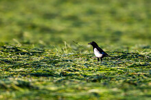 A Magpie On A Meadow