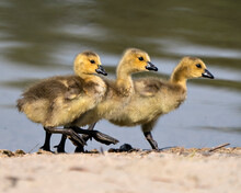 Canada Goose Photo. Gosling Close-up Profile View Marching On Sand In Its Environment And Habitat With Blur Water Background. Canada Goose Gosling Image. Three Baby Birds. Picture. Portrait.