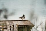 Fototapeta Łazienka - kaczka na pomoście nad jeziorem
