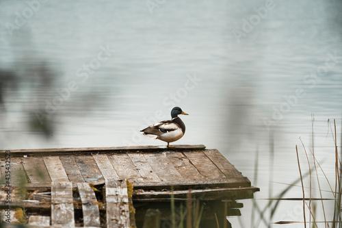 kaczka na pomoście nad jeziorem