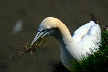 """Gannets Are Seabirds Comprising The Genus Morus, In The Family Sulidae, Closely Related To Boobies. """"Gannet"""" Is Derived From Old English Ganot, Ultimately From The Same Old Germanic Root As """"gander""""."""