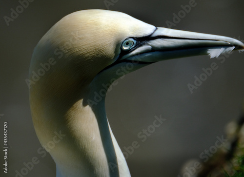 Stampa su Tela Gannets are seabirds comprising the genus Morus, in the family Sulidae, closely related to boobies