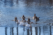 Ducks Swimming On The Blue Pond