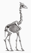 Giraffe Skeleton In Profile View, After Antique Engraving From The 19th Century
