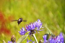 The Carpenter Bee Flies Over The Cornflower Flower