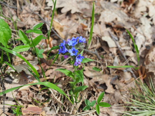 Fotografie, Obraz Close-up of blooming flowers Pulmonaria mollis in sunny spring day, selective fo