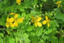 Yellow Flowers In The Garden, Natural Green Background