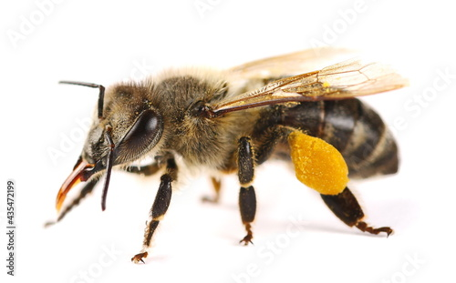 Foto Honeybee with yellow pollen isolated on white background, top view