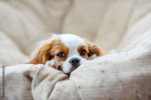 Fotografija little puppy dog cavalier king charles spaniel sliping on a chair