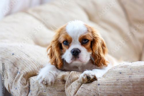 Fotografia little puppy dog cavalier king charles spaniel sitting on a chair
