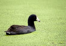 Black American Coot With Ivory White Beak On A Green Filled Lake In Huntington Beach Park In California