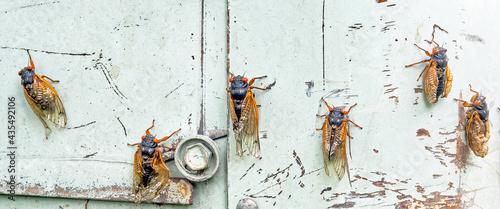 Valokuva Row of Emerging Cicadas on Blue Metal Background