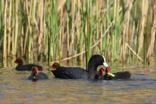 Coot Duck And Its Offspring, Animals Family
